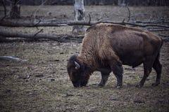 Bison sauvage frôlant l'herbe Image libre de droits