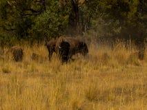 Bison sauvage sur Bison National Resrve photographie stock libre de droits