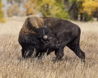 Bison scratching an itch. With his teeth. Grand Tetons royalty free stock photos