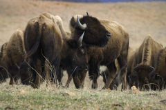 Bison scuffle Royalty Free Stock Images