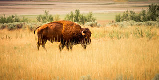 Bison seen on Antelope Island. A Bison seen on ANtelope Island, Great Salt Lake, Utah Stock Photo