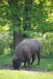 Bison. Series of bison drinking water in romanian national park Royalty Free Stock Images