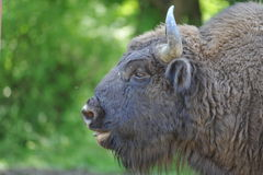 Bison. Series of an old bison portrait in romanian national park Stock Photos