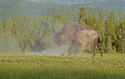 Bison shakes dust from his body. Stock Photo