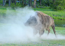 A Bison shakes his head as the dust rolls. Royalty Free Stock Photography