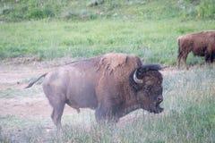 Bison Shaking Off smutsen Fotografering för Bildbyråer