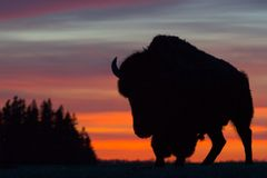 Bison Silhouette. A hulking bison stands against the sunset sky Stock Photo