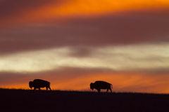 Bison silhouette, red sky sunrise Royalty Free Stock Images