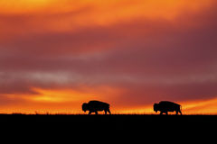 Bison silhouette, red sky sunrise Stock Image