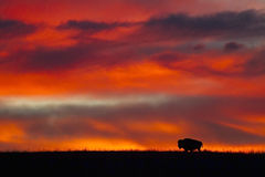 Bison silhouette at sunrise Stock Photo