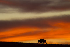Bison silhouette at sunrise Stock Photography