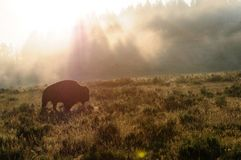 Bison Silhoutte at Dawn stock photo