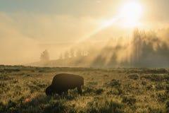 Bison Silhoutte på gryning arkivfoton