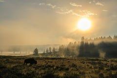 Bison Silhoutte på gryning arkivfoto
