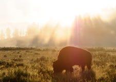 Bison Silhoutte på gryning arkivbilder