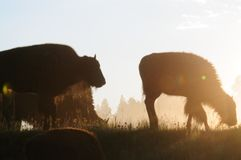 Bison Silhouttes at Dawn. Backlit images of a group of Bison in the Hayden Valley area of Yellowstone National Park Stock Images