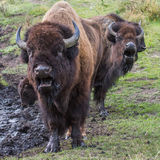 Bison singing Royalty Free Stock Photos