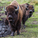 Bison singing Stock Image
