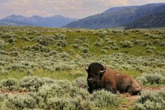 Bison sit in meadow at Yellowstone, Wyoming. Bison sitting in meadow with mountain background at Yellowstone National Park, Wyoming and Montana, United States Royalty Free Stock Image