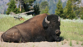 Bison sitting on grasslands in Yellowstone National Park Stock Images
