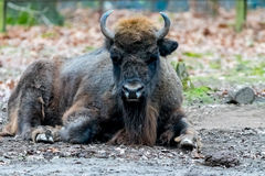 Bison sitting on the ground with leafs in Background Stock Photos