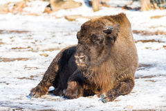 Bison sitting on the ground with leafs and  snow in Background Stock Photo