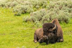 Bison sitting in meadow with mountain background at Yellowstone National Park stock photography