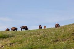 Bison sju på en backe arkivbilder