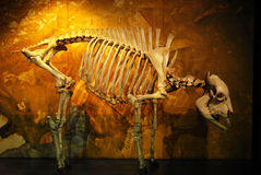 Bison skeleton Royalty Free Stock Photo