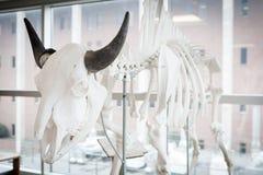 Bison Skeleton (Bison bison) Stock Photos