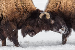 Bison Skirmish. Two Mature American Bison Skirmish On Snowy Field Royalty Free Stock Image