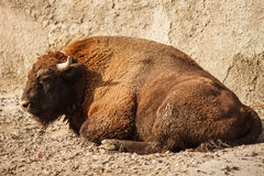The bison Stock Image