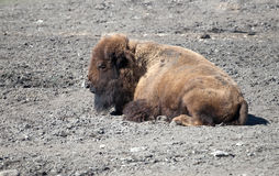 Bison sleeps on ground Royalty Free Stock Images