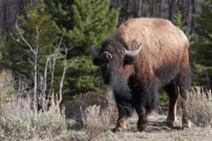 Bison smelling the air Stock Photography