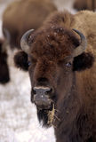 Bison and snow Royalty Free Stock Images