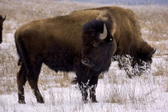 Bison and snow Stock Photos