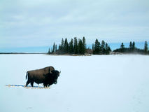 Bison in the snow. Bison in the winter in Elk Island National Park,Canada Royalty Free Stock Photo