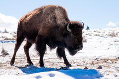 Bison in snow Royalty Free Stock Image