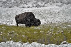 Bison in snow. Buffalo grazing in the snow in Yellowstone National Park royalty free stock photos