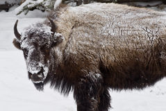Bison in Snow Coat. A snow-covered bison poses while grazing during early spring in Yellowstone Park, USA stock photos