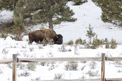 Bison in snow covered field in Yellowstone National Park, Wyomin Royalty Free Stock Images