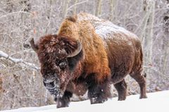 Bison in the snow, Elk Island National Park, Alberta, Canada. A bison in the snow walking with snow on his face from rooting Royalty Free Stock Photo
