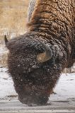 Bison In Snow Nose To The Ground. Close up of bison with snow flakes on him, his nose to the ground stock image