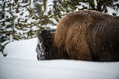 Bison in the Snow, Yellowstone Royalty Free Stock Photos