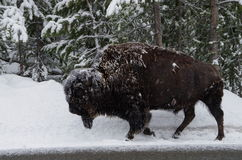 Bison in a snowstorm. This photograph is of a full grownBison trundling through a snowstorm in Yellowstone National Park Wyoming Stock Photos