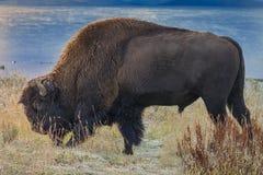 Bison at Snowy Lake's Edge Stock Image