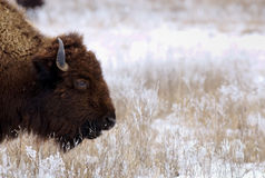 Bison on snowy prairie Stock Photography