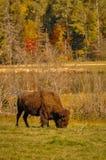 Bison som äter gräs i höst i Quebec, Kanada Arkivbild