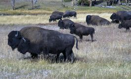 Bison som betar på den Yellowstone nationalparken royaltyfria bilder