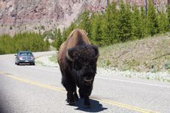 Bison som går i mitt av vägen i den Yellowstone nationalparken Arkivbild